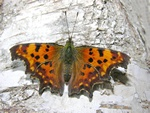 Det hvide C (Polygonia c-album)